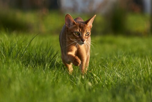cat prowling through grass outside